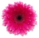 Roze gerbera Stock Afbeelding