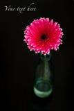 Roze gerbera Stock Fotografie