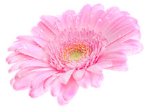 Roze gerbera. Macro image of a gerbera flower in pink, yellow and green. Isolated on white Royalty Free Stock Image