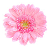 Roze gerbera Stock Photo