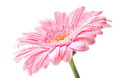 Roze gerbera. Macro image of a gerbera flower in pink, yellow and green. Isolated on white Royalty Free Stock Photography