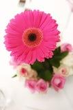 Roze Gerbera Stock Foto