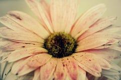 Roze Gerbera Daisy Stock Afbeelding