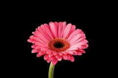 Roze Gerbera Daisy Black Background Royalty-vrije Stock Foto