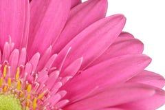 Roze Gerbera-kwart royalty-vrije stock afbeelding