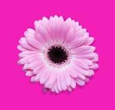 Roze gerbera met weg stock foto