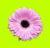 Roze gerbera met weg stock afbeelding