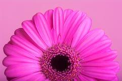 Roze gerbera op roze achtergrond. Stock Afbeelding