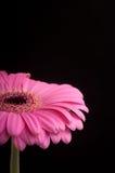 Roze gerbera op zwarte achtergrond. Stock Foto