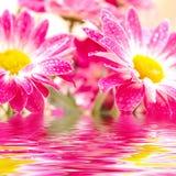 Roze gerbera twee Stock Foto