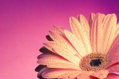 Roze gerbera van Nice op roze achtergrond Stock Afbeelding