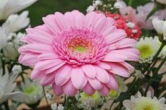 Roze gerberabloem Stock Foto