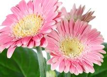 Roze gerberabloemen Stock Foto