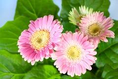 Roze gerberabloemen Royalty-vrije Stock Fotografie
