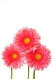 Roze gerberabloemen op wit Royalty-vrije Stock Afbeelding