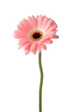 Roze gerberamadeliefje Stock Afbeelding