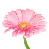 Roze gerberamadeliefje Stock Foto's