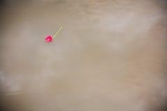 Roze gerberamadeliefje die in een vijver drijven Royalty-vrije Stock Afbeeldingen