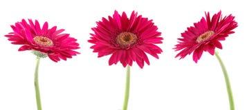 Roze gerberas Royalty-vrije Stock Afbeeldingen