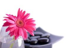 Roze gerberbloem Stock Foto