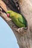 Roze-geringde neergestreken Parkiet, nest, aard, exemplaarruimte Royalty-vrije Stock Foto