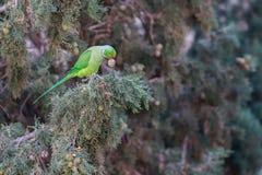 Roze-geringde Parkiet, Psittacula-krameri, groene papegaai royalty-vrije stock fotografie