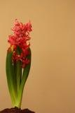 Roze geïsoleerde Hyacint, Hyacinthus-orientalis, close-upmening Royalty-vrije Stock Afbeeldingen