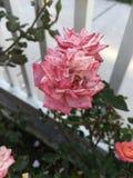 Roze gespikkelde tuinrozen stock foto