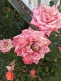Roze gespikkelde tuinrozen stock foto's