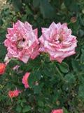 Roze gespikkelde tuinrozen Royalty-vrije Stock Afbeelding