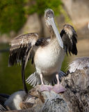 Roze-gesteunde pelikaan Stock Fotografie