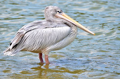 Roze-gesteunde Pelikanen royalty-vrije stock fotografie