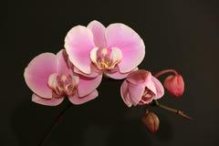 Roze gevoelige orchideebloesems op een zwarte vage achtergrond Royalty-vrije Stock Afbeeldingen