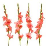 Roze gladiolen Stock Foto