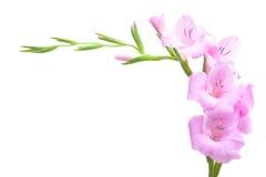 Roze gladiolen royalty-vrije stock afbeeldingen