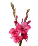 Roze gladiolen Royalty-vrije Stock Foto's
