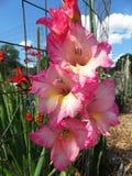 Roze Gladiolenbloemen in de Tuin Royalty-vrije Stock Afbeeldingen