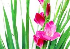 Roze gladioli in China Stock Foto