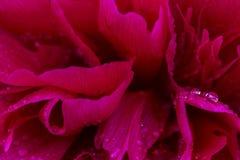 Roze glanzende regendruppels op pioenbloemblaadje Zacht luchtig artistiek beeld met zachte nadruk royalty-vrije stock fotografie