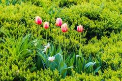 Roze glowers op een groen gebied Stock Fotografie