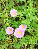 Roze grandiflora portulaca Stock Foto
