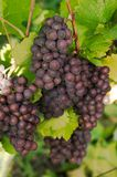 Roze Grapes. Close-up rose Wine Grapes in wine-yard Royalty Free Stock Image