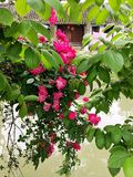 Roze & groen Stock Fotografie