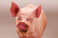 Roze groot varken stock afbeeldingen