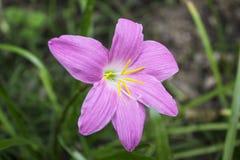 Roze grote bloemen in de bloemtuin Royalty-vrije Stock Afbeelding