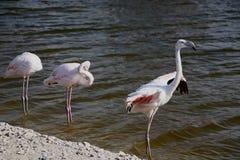 Roze grote vogels Grotere Flamingo's in het water Flamingo's die veren schoonmaken Het wild dierlijke scène van aard stock fotografie