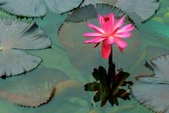 Roze grote waterlelie en bezinning royalty-vrije stock fotografie