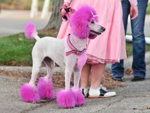 Roze haired poedel Stock Foto