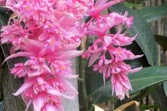 Roze hangende bloemen Stock Afbeeldingen