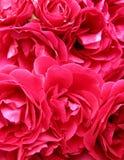 Roze hartstocht Stock Afbeelding